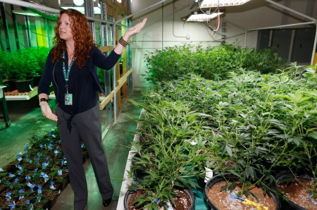 FILE - In this file photo taken Saturday, April 25, 2015, Elan Nelson, a spokesperson for a marijuana retail and grow facility, answers questions amid a forest of marijuana under cultivation as a contingent of Nevada lawmakers, their staffers and a handful of lobbyists toured two operations for both medical and recreational marijuana in northeast Denver. Colorado is voting on state marijuana taxes in the general election on Tuesday, Nov. 3. (AP Photo/David Zalubowski, file)